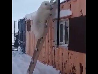 В Красноярском крае к золотодобытчикам начал приходить белый медвежонок, после смерти мамы он ходит в поселок и клянчит еду.