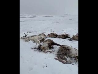 На севере Камчатки произошла массовая гибель оленей  В социальных сетях появилось видео с погибшими животными, автор сообщил о т
