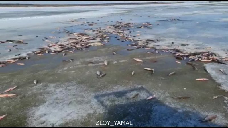 На Ямале несколько сотен рыб погибают на реке. Злой Ямал.