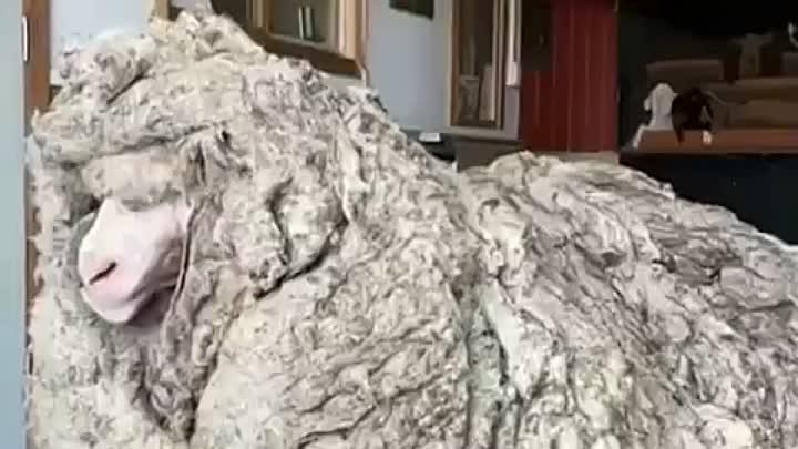 Барашек-путешественник с 35 кг шерсти
