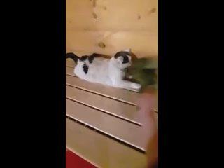 кот который любит парится в бане.