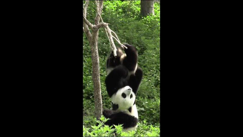 Панды Animal Planet