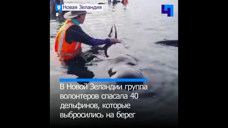 В Новой Зеландии волонтеры провели целую операцию по спасению 40 дельфинов