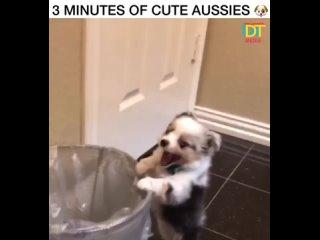 эти австралийские овчарки самые милые
