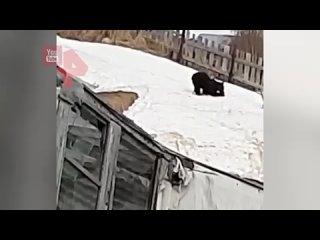 Катающегося с горки медведя заметили на Сахалине