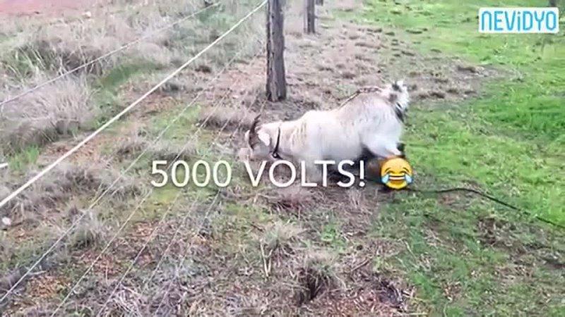 Otlarken elektrik çarpan keçinin dramı - Öyle bir kaçtıki _D _D(360P).mp4