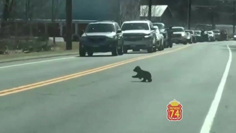 Медведица переводит медвежат через дорогу