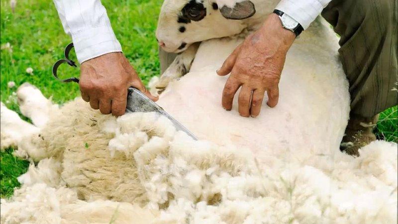 [Бизнес идеи и бизнес планы] Овцеводство как бизнес для начинающего фермера Разведение овец в домашних условиях