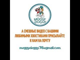 Автор видео неизвестен P.S. А смешные видео с вашими любимыми хвостиками🐩🐈🦜🐀🦝🐇🦔 можете прислать нам на почту: moggydoggy78@