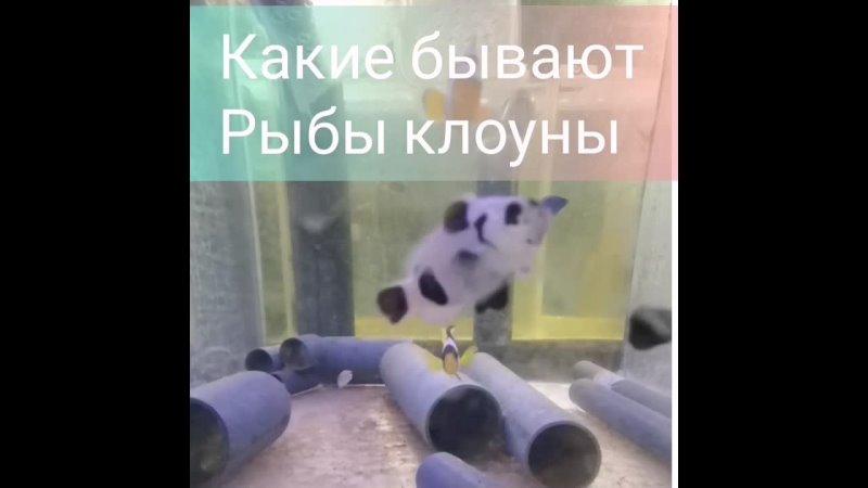 Разнообразие рыб клоунов