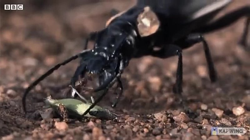 Beetle that hunts ants
