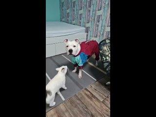 Дождевик  для собаки. Смешные животные.
