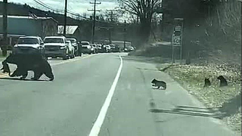 медведица переходит дорогу с медвежатами