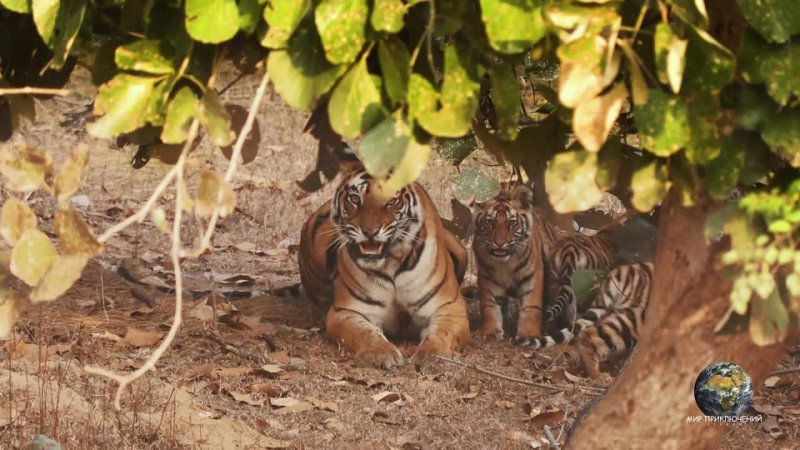 Атака тигра Тигрица с тигрятами в джунглях Индия