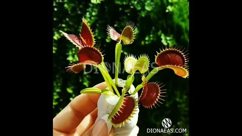 Хищное растение Венерина Мухоловка Сортовая гибридная Мухоловка Дионея