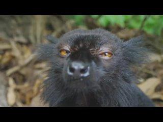 Lemurs get high  Spy in the Wild - BBC