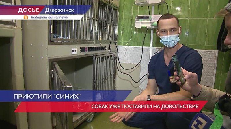 Собаки с синим окрасом из Дзержинска обрели дом