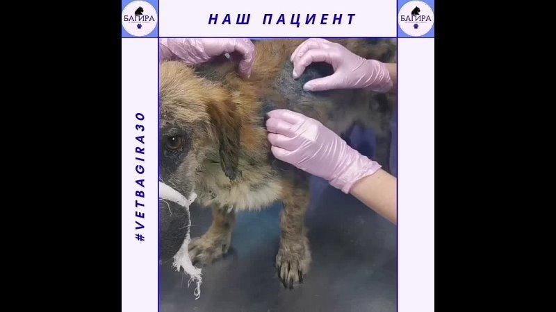 Демодекоз Начало лечения Ветеринарная клиника Багира г Астрахань