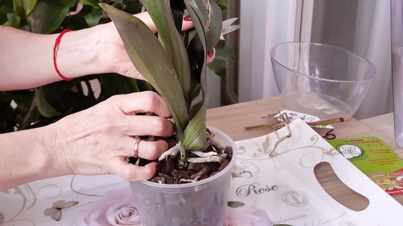 Как быстро восстановить тургор листьев орхидеи Через 3 дня будет как новая