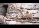 Родились козлята дагестанского тура