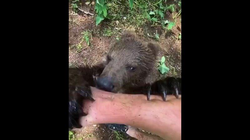 Медвежата издают жужжащий звук когда чувствуют себя комфортно и безопасно