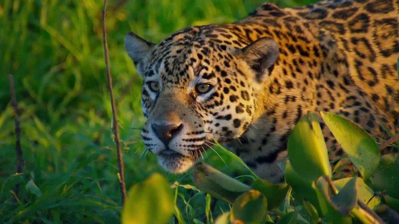 Джунгли Бразилии Ягуар убийца убийц