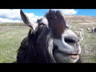 Калиф, он же Медведь, Махнушка, альпиец-производитель у моих коз.