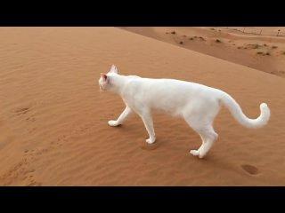 Как ходят кошки? — След в след