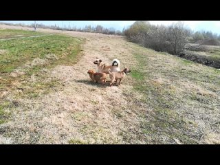 Щенки на прогулке в поле