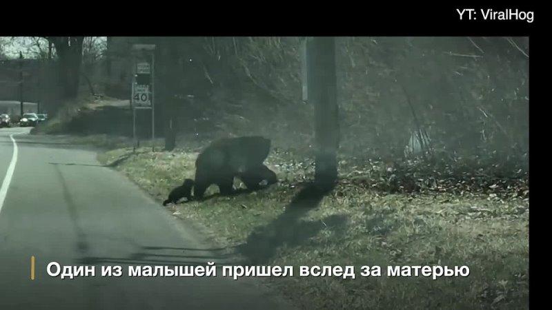 Медведица 🐻 переводит медвежат через дорогу🛤