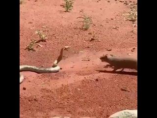 Мангуст против кобры, кто кого?