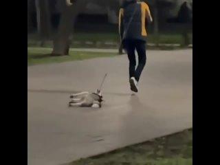 Хаски на прогулке