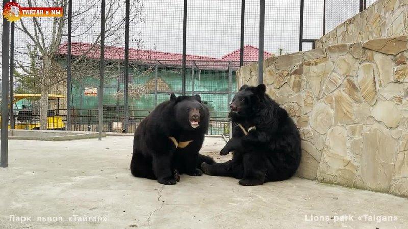 Бурые МЕДВЕДИ ОЧЕНЬ ПЕРЕЖИВАЮТ за гималайских УМОРА 😂 Тайган Animals life in