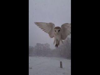 Потрясающая сипуха, парящая во время снегопада