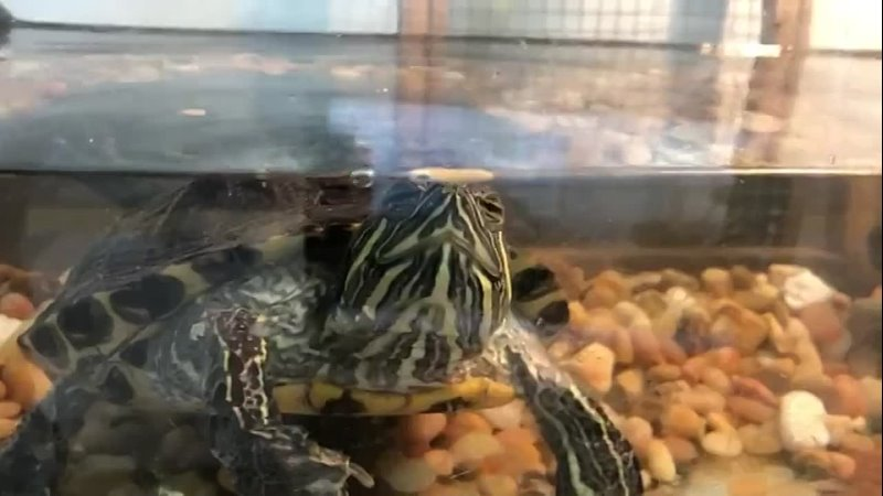 Черепаха неудачница Такс ща поймаю секундочку