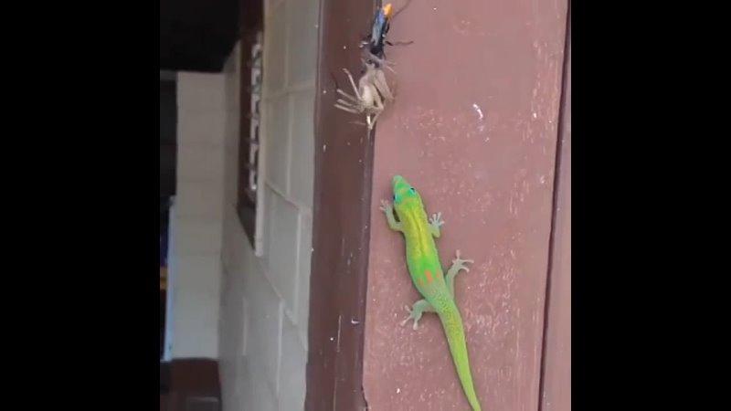 Коморский дневной геккон