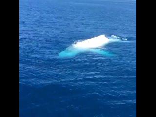 Перед вам редкий горбатый кит альбинос. Впервые замечен в 1991 году, живет возле Большого Барьерного рифа.