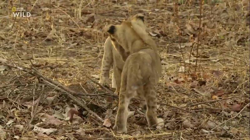 Predator And Game HD Nat Geo Wild Африканские охотники Гордость и предубеждение