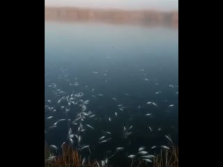 На Кубани произошла массовая гибель рыбы