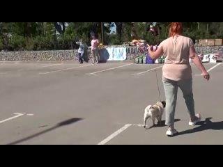 Video by Питомник HIMMELL  VAHE - купить щенка мопса