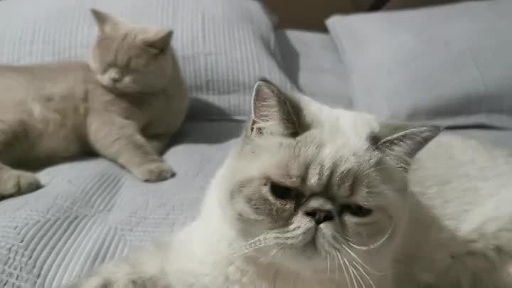 Видео от Экзотические котейки ''EXO Chichilina