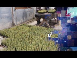 Свыше миллиона сеянцев ели высадили в теплицы Вологодского селекцентра