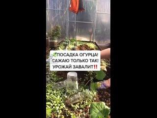 Самый лучший способ посадки огурцов🥒Больше идей → #сад_огород►  Прокачать свою дачу ◄