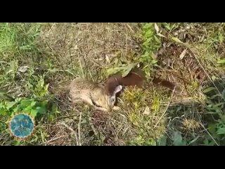 Мангуст против зайца.