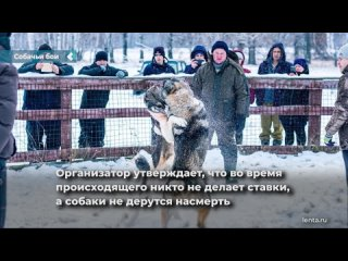 В российском городе пожаловались на кровавые собачьи бои