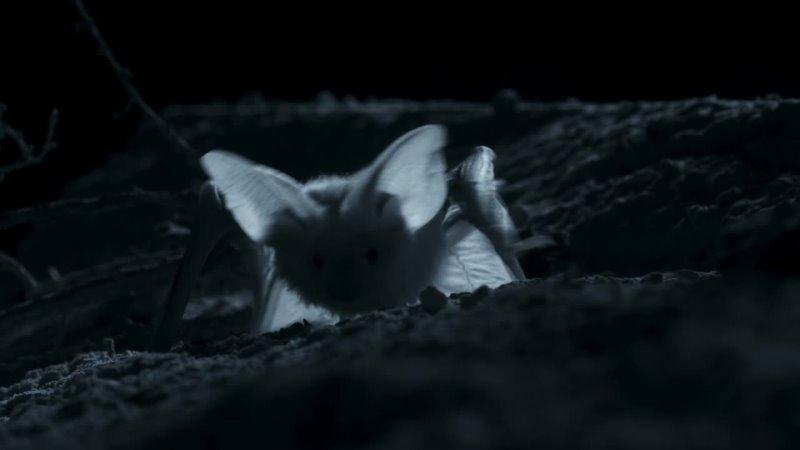 Пустыня Негев Израиль Летучая мышь Белобрюхий стрелоух охотится на скорпиона