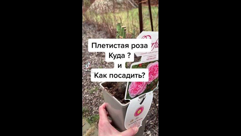 Хотите плетистую розу но не знаете как ее посадить А мы вам сейчас все расскажем