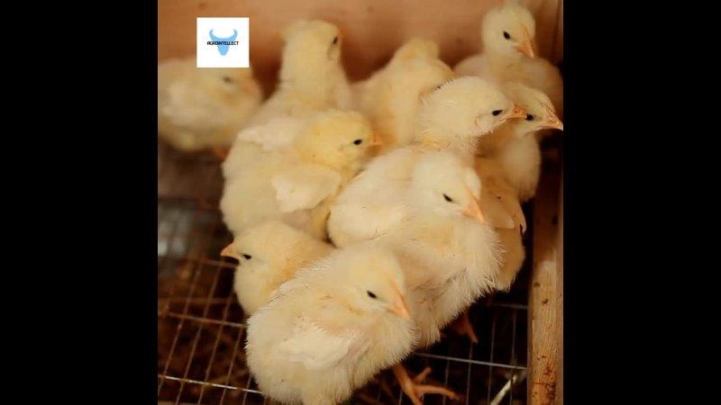 Как можно спасти 6 миллиардов цыплят с помощью инновационных технологий