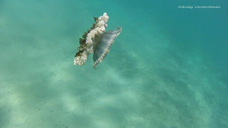Медуза Кассиопея Андромеда