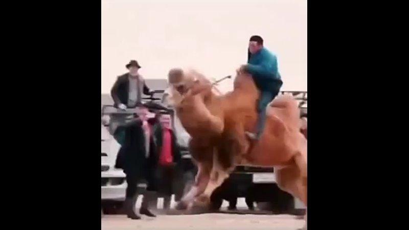 Уууууууухххх еееее я и не знала что верблюды так горцевать могут Мне всегда казалось что они спокойные